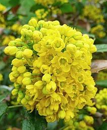 Mahonia pospolita Mahonia aquifolium