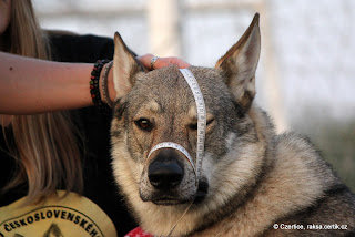 Ebinka trpělivě drží a čeká, až mě to týrání psů přestane bavit:) Fotila tuším Terka, nebo Maroš, nebo někdo.