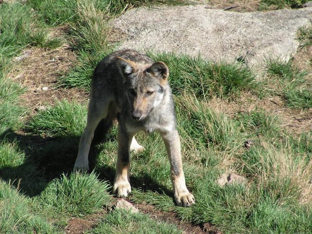 Les Loups de Chabrière PICT0535