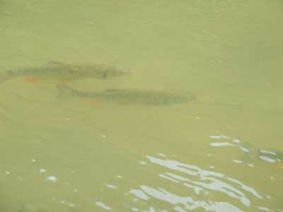 chubs in Dunajec river