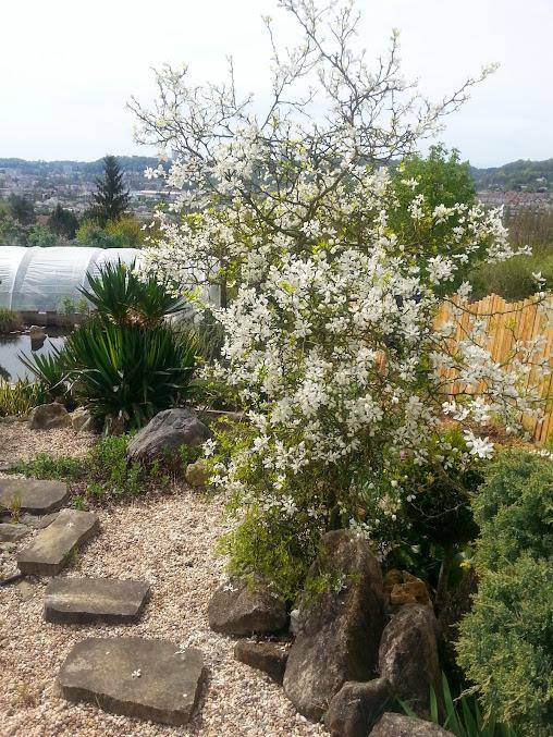 Poncirus trifoliata 20140407_135603