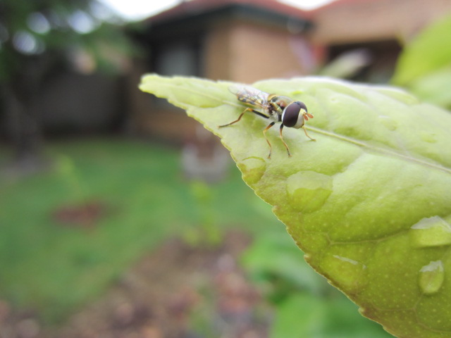 This Hoverfly is sitting on a lemon tree