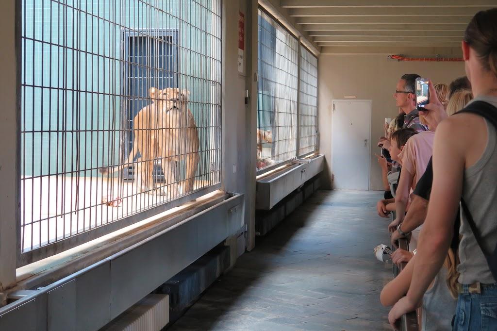 Die Besucher haben ihren Spaß - die Löwen eher weniger