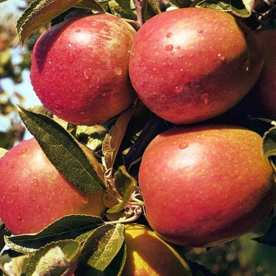 Бребурн яблони купить
