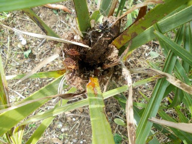 Le forum de la gazette topic sos palmier en danger - Quand tailler un palmier ...