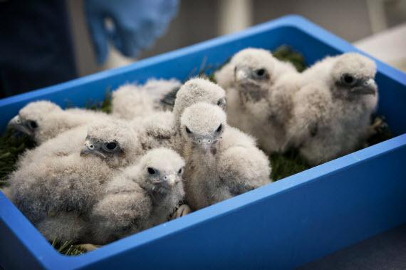 El CRAS devuelve al medio natural más de 2.000 crías desde 2010
