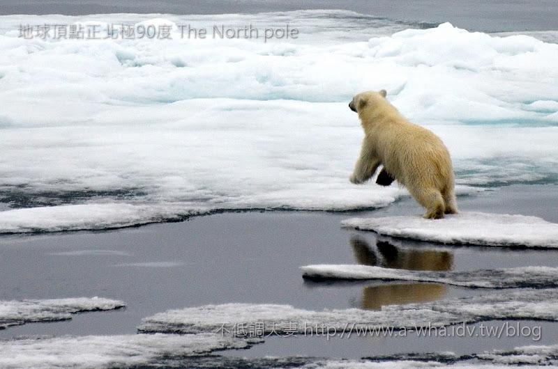 【地球頂點正北極旅遊】NIKON D7000連發~北極熊動態相片分享~A-wha飛行日誌 No.256