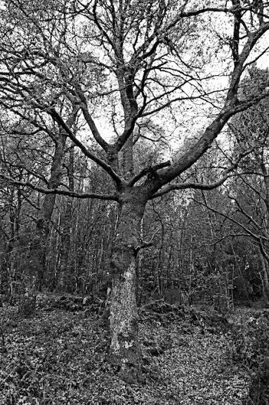 Un gran roble entre un bosque de robles