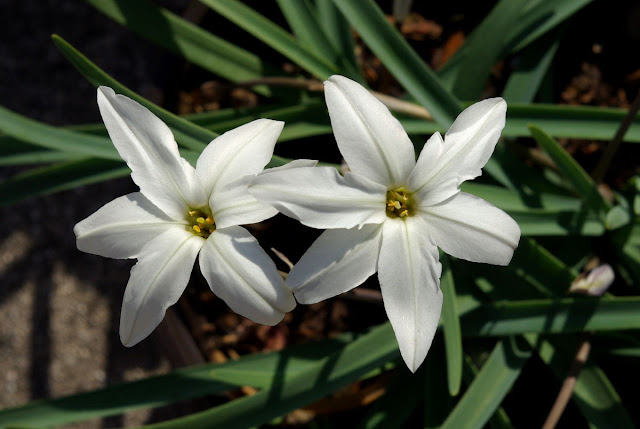 Ipheion uniflorum 'Alberto Castillo'