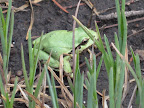 Arizona Treefrog, July 9, 2012 (Photo by J. Davis)