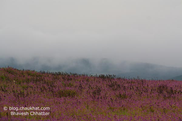 Dense clouds covering the background mountain. In front, there lies the beautiful bed of orchids. This was shot in the Kas Plateau.