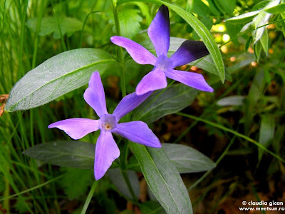 flora in Macin: Saschiu (Vinca minor)