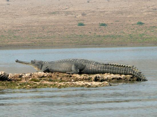 Questões e Fatos sobre Crocodilianos gigantes: Transferência de debate da comunidade Conflitos Selvagens.  - Página 2 Filename-p1150071-jpg