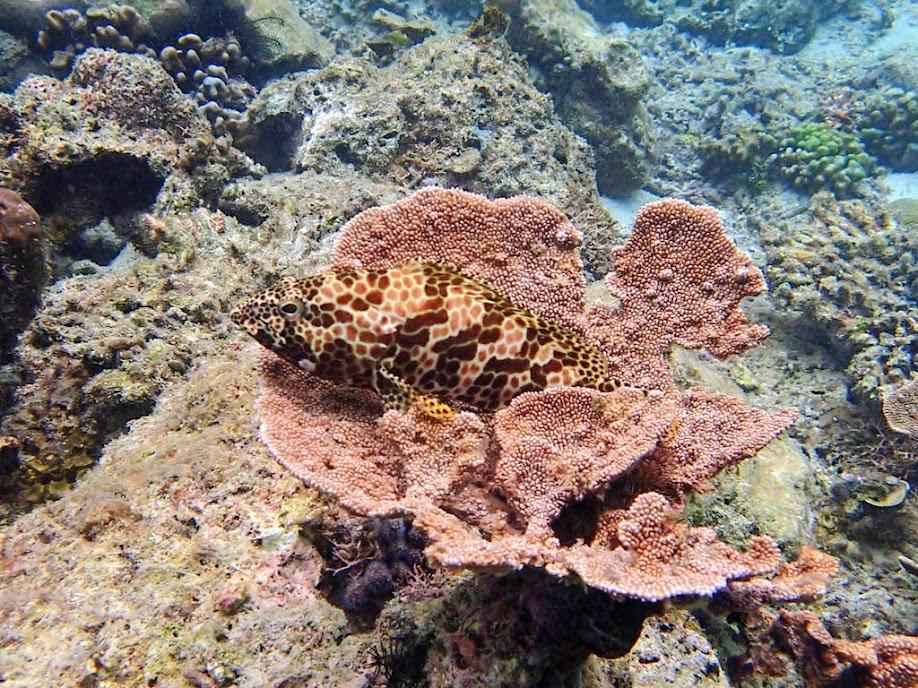 Epinephelus merra (Honeycomb Grouper), Miniloc Island Resort reef, Palawan, Philippines.