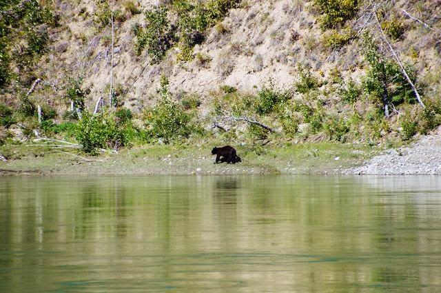 達人帶路環遊世界-育空河黑熊