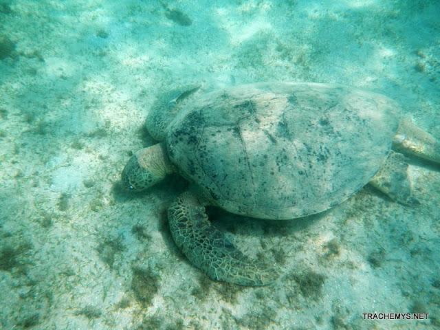 Tortues marines à Mayotte DSCN1406