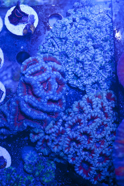 CRW 3996 - zoas and palys-  lps - sps - nightmares and people eaters!