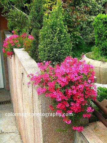 Potted red Creeping Phlox on retaining wall-Moss Phlox