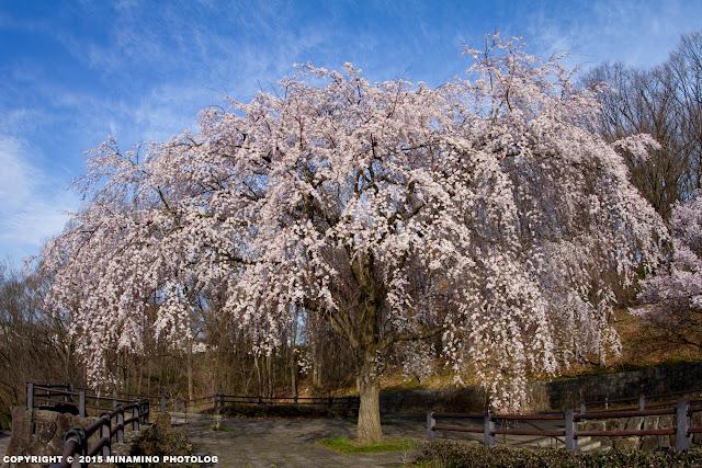 片倉つどいの森公園の枝垂桜
