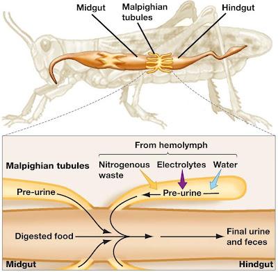 pembuluh%2520malphigi%2520belalang Sistem Ekskresi (1): Sistem ekskresi pada hewan rendah