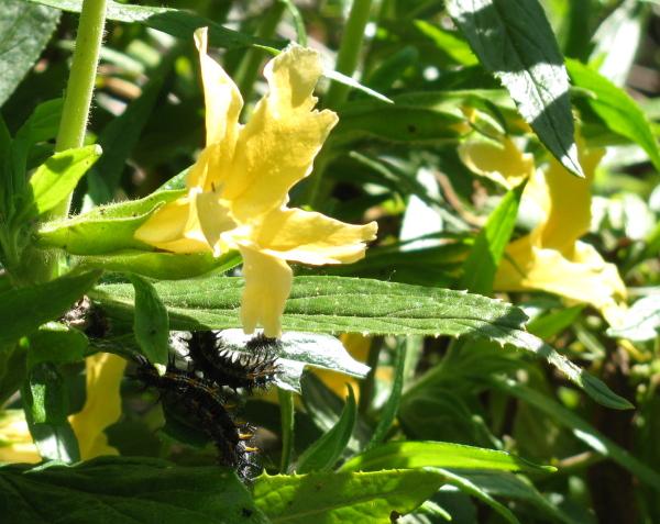 caterpillars on monkey flowers