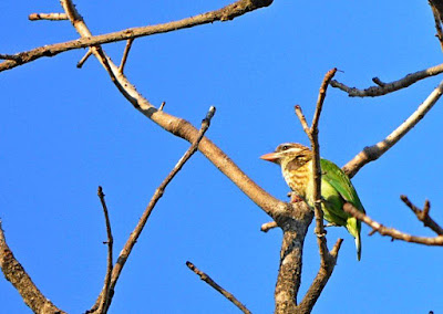 Jan-2012 White-cheeked Barbet Pic: Sujesh S.