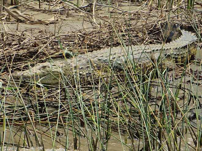 kleine Nijlkrokodil tussen het riet, aan de kant van Lake St. Lucia, iSimangaliso Wetland Park, Zuid Afrika
