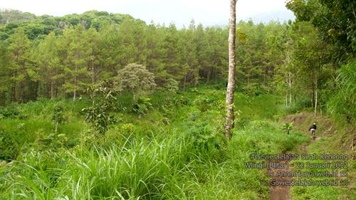 Pemandangan hutan pinus yang indah. Jalannya menurun pula.