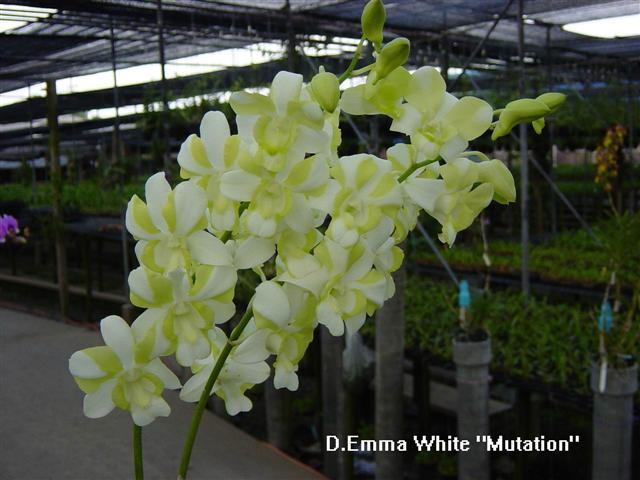 Растения из Тюмени. Краткий обзор - Страница 11 Den_emma_white_mutation