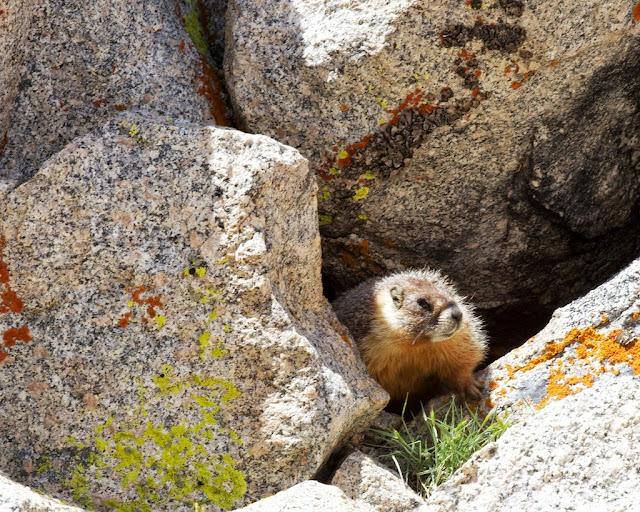 bishop pass marmot