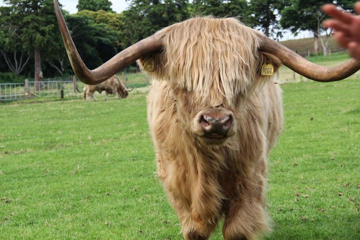 向かってくる牛さん