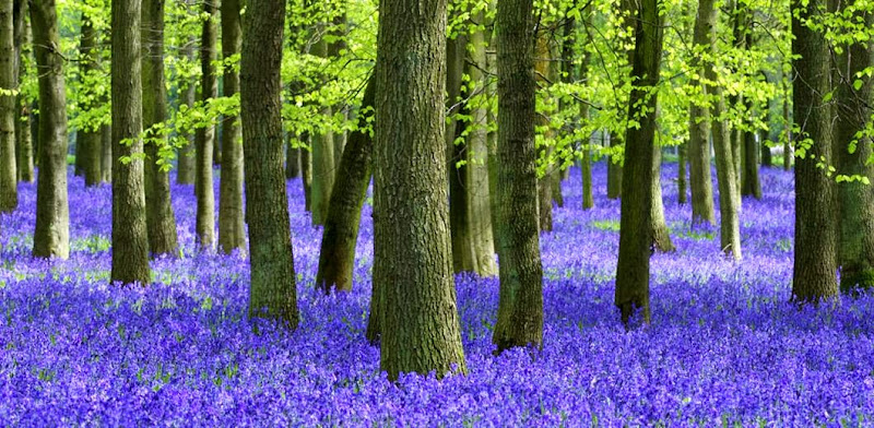external image milton-park-levander-forest.jpg