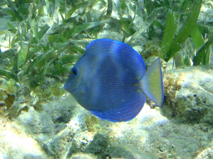 Acanthurus coeruleus (Juvenile Atlantic Blue Tang) near Tranquility Bay Resort.