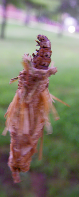 Bagworm emerging from cocoon