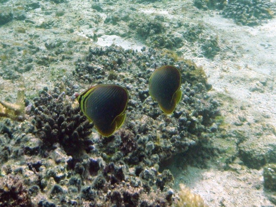 Chaetodon baronessa (Eastern Triangular Butterflyfish), Naigani Island, Fiji.