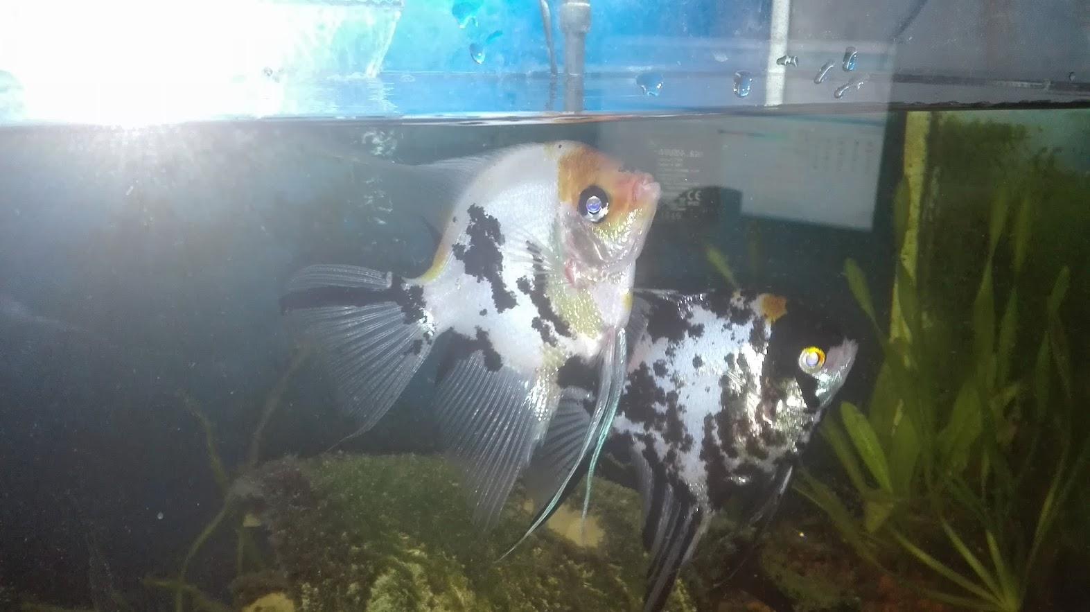 Vendo peces escalares colisa corydora y botia for Vendo peces