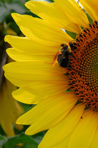 """""""Sunflower & Bee"""" by Photographer Ron Edwards."""