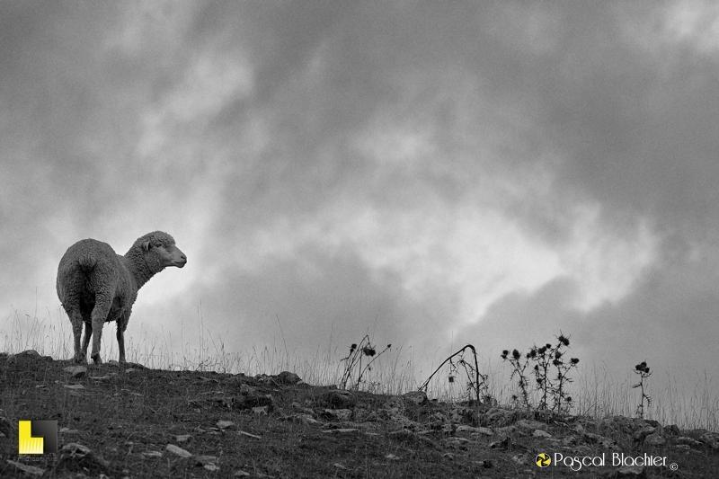 brebis sous la pluie photo pascal blachier
