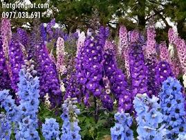 Hoa Phi Yến (Violet)