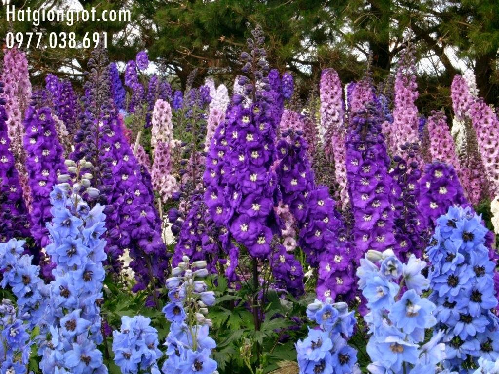 Hoa phi yến ( Hoa Violet)