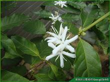 咖啡樹開花