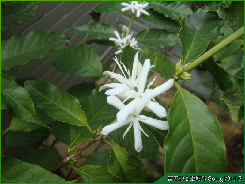 Coffee trees flower photos