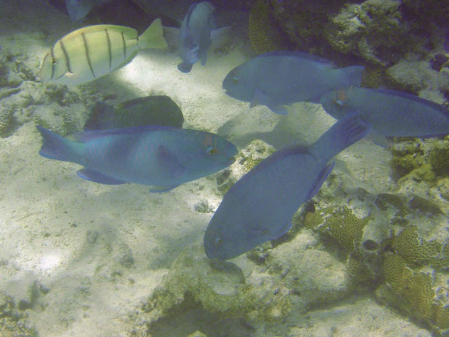 Chlorurus frontalis (Tan-faced Parrotfish), Aitutaki.