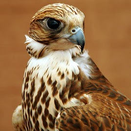 Golden Falcon picture