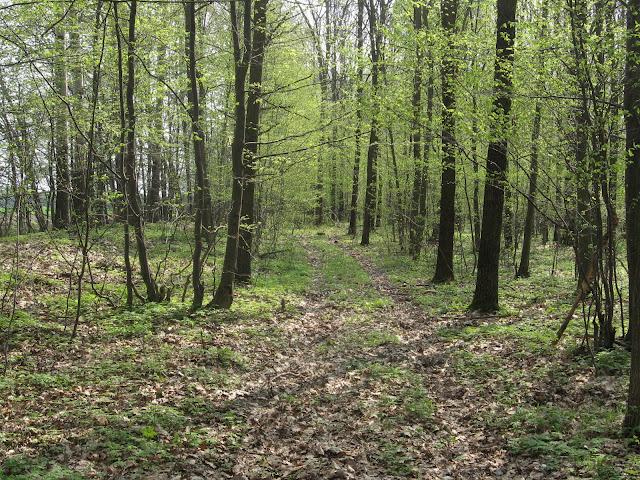 leśna droga, Las Wiączyński