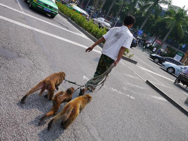 three leashed monkeys crossing a road in Zhuhai