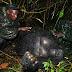 Foto-Foto Pembantaian Gorilla Tersadis