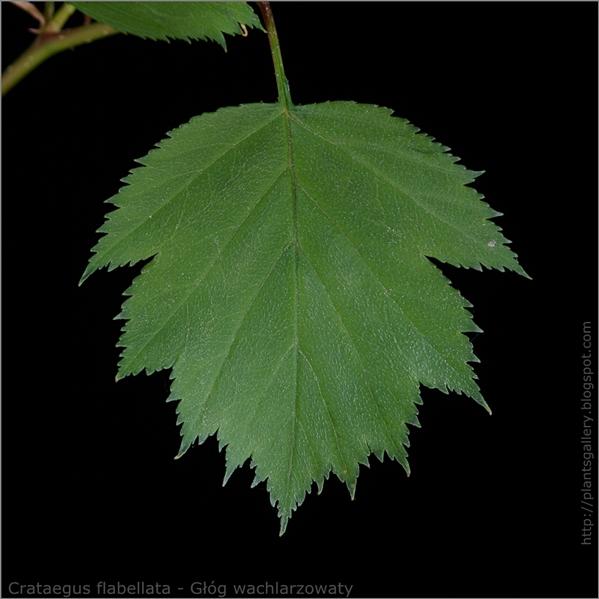Crataegus flabellata leaf - Głóg wachlarzowaty liść z wierzchu