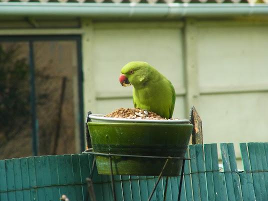 des perruches à collier dans mon jardin PERRUCHE+A+COLLIER+%25287%2529