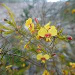 Wildflower (Dillwynia elegans) on Elvina Track (304242)